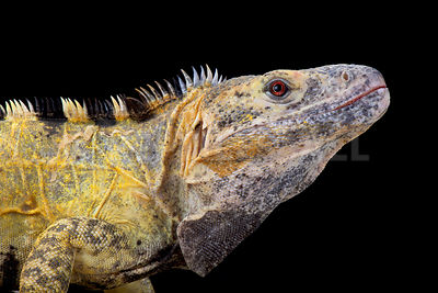 Mexican spiny-tailed iguana (Ctenosaura pectinata)  photos