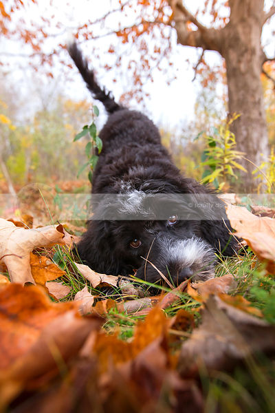 cute black and white puppy playbowing in autumn leaves
