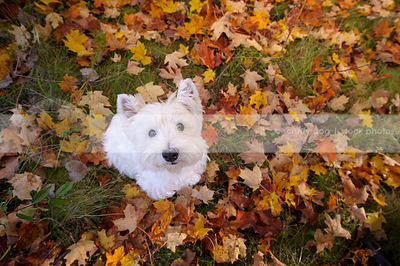 white westie terrier dog looking up from autumn leaves