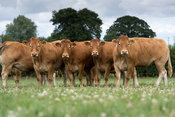 Limousin heifers in a pasture full of white clover, North Yorkshire, UK.