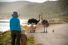 Mother and child with ostriches and chicks on a road next to the coast