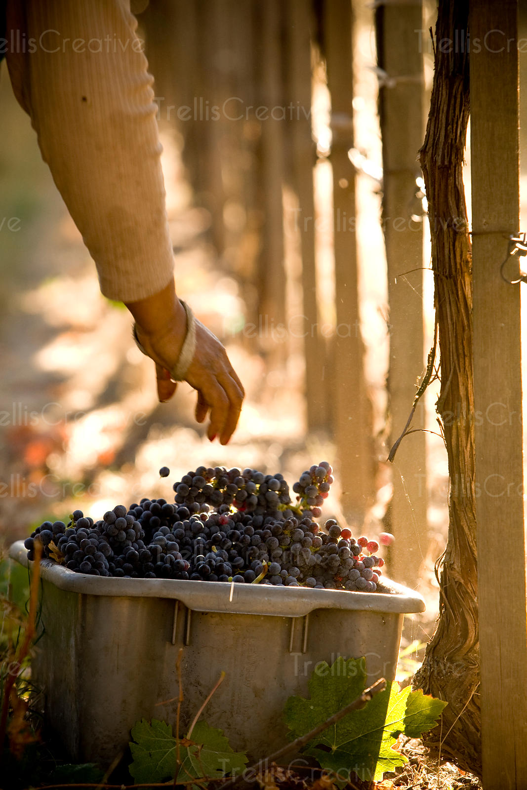 Placing harvested grapes into a bin