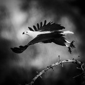 3869-Bird_Laurent_Baheux