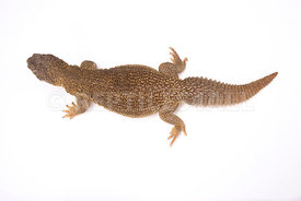 Indian spiny-tailed lizard (Saara hardwickii)