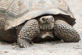 galapagos_tortoise_young-1
