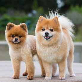 Two Pomeranian Dogs Standing Next to Each Other
