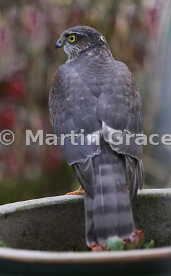 Juvenile male Eurasian Sparrowhawk (Accipiter nisus) perching on a planter in a domestic garden, Lyth Valley, Cumbria, England
