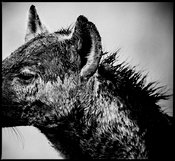 9090-Left_side_of_hyena_s_face_Kenya_2006_Laurent_Baheux