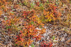 Autumn Huckleberry Leaves in Newberry National Volcanic Monument