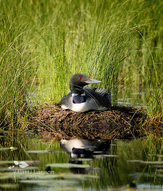 Loon on her Nest
