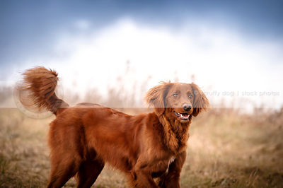 excited red setter mixed breed dog in field under stormy sky