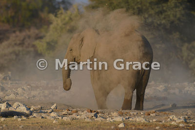 African Elephant (Loxodonta africana) dust-bathing, Etosha National Park, Namibia: Image 2 of 4