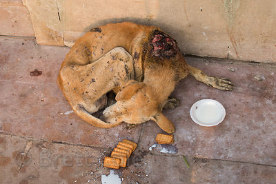 Injured Pariah street dog with milk and biscuits given to it by tourists, Prayag Ghat, Varanasi, India. I got the dog to a nearby rescue center but it died later that day.