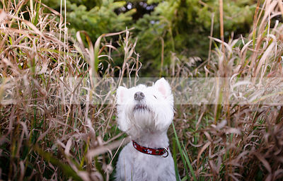 cute little white westie dog looking skyward from dried grasses