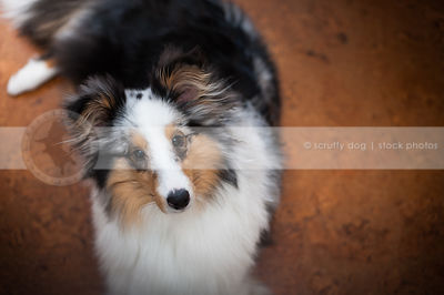 sweet merle sheltie dog looking upward with minimal background