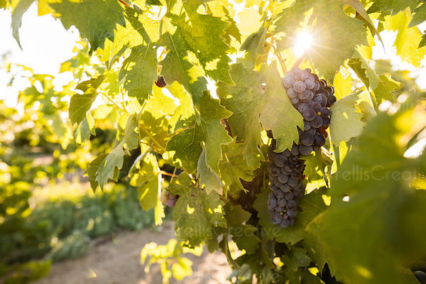 Sunbeam filtering through a red grape bunch on a vine in a vineyard