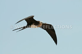 frigatebird_juvenile_flight_4