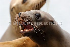 California Sea Lion Juvenile Bark 1