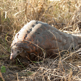 Pangolin wildlife photos