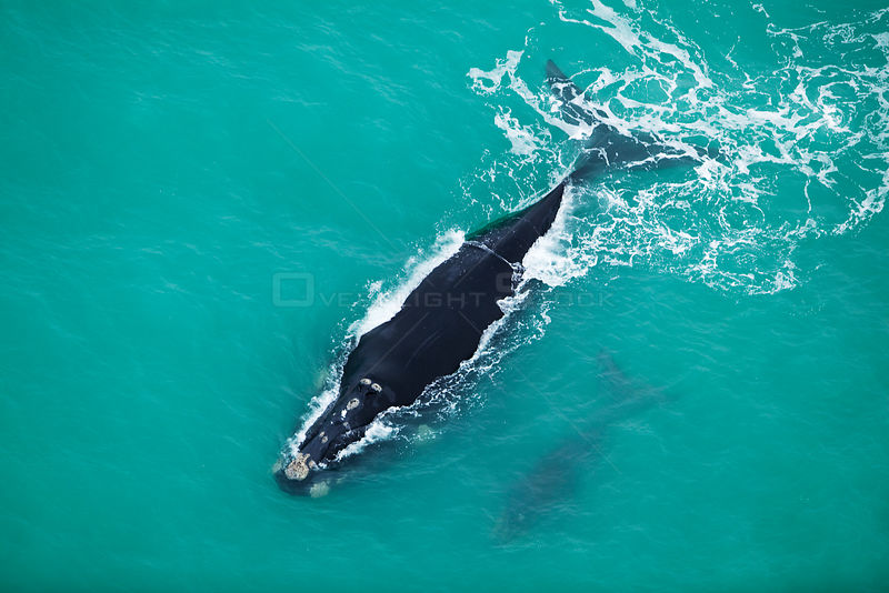 Aerial photograph of Southern Right Whale (Eubalaena australis) near Cape Agulhas, South Africa,  Western Cape Province, Indian Ocean, August