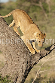 Lioness Pre Jump 2