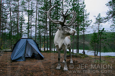 Reindeer and tent