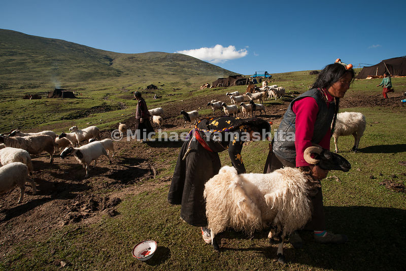 Chamadao, Route 317, Nomad encampment outside Riwoche. Women tend their sheep and yak, shearing wool and other chores. Men are having a good time in town. Spend 4 months /year in tents, also have house built by government in Komar Gar. Tents and gear are moved by truck, Yak and horse packing stopped 5 years ago.