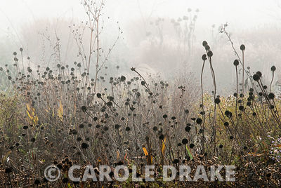 Meadow planting near the glassshouse dominated by seedheads on a misty autumn day. RHS Garden Wisley, Woking, Surrey, UK