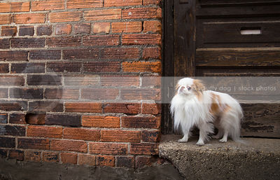 small dog standing on doorsill of wood door at urban brick wall