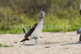 blue_footed_booby_north_seymour-33