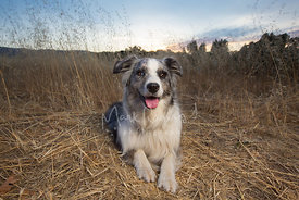 australian-shepherd-dog-lying-in-field-stock-photo