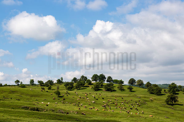 Dairy Cows in a Pasture with Oak Trees
