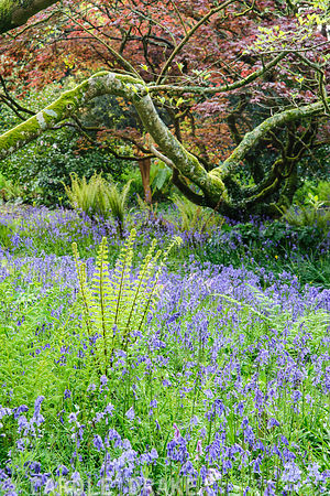 Bluebells and ferns carpet the ground in the South Garden below magnolias, acers and rhododendrons. Trewidden Garden, nr Penzance, Cornwall, UK