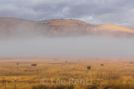 Cattle Grazing on a Ranch near Malheur National Wildlife Refuge