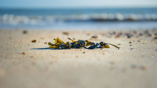 Seaweed on the Seashore