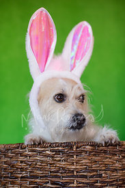 White terrier mix dog in basket wearing easter bunny ears looking to side
