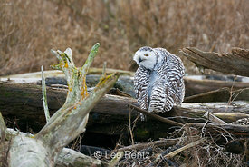 Snowy Owl Grooming While Perched on Driftwood at Boundary Bay