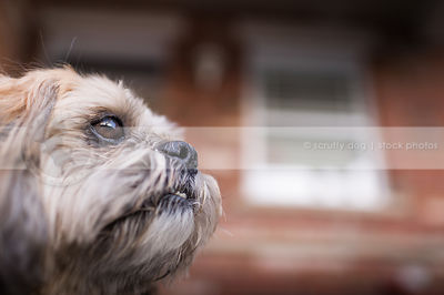 closeup of small tan dog at house with bokeh background