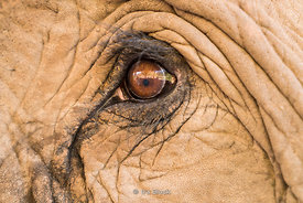 Closeup of an elephants eye at the Green Hill Valley Elephant camp in Magway Village near Bagan, Myanmar.