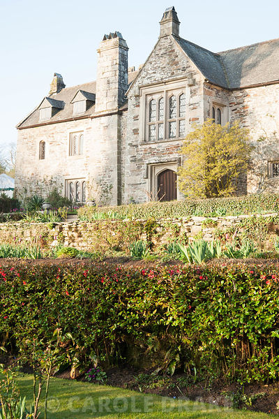 East facade of house viewed over terraces and clipped hedge of ornamental quince. Cotehele, Cornwall, UK