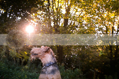 portrait of black and tan dog looking away in trees with sunflare