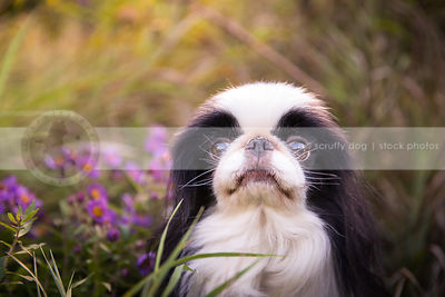 headshot of cute toy breed dog in meadow flowers and grasses