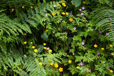 Wildflowers in Killney Hill Park, Ireland