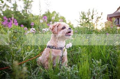 tan small dog sitting in summer meadow with purple flowers