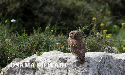 The little owl west of Ramallah