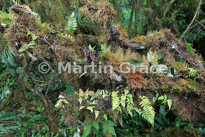 Epiphytic growth of ferns and the endemic moss-like liverwort Bryopteris filicina (liebmanniana) on Tree Scalesia (Scalesia pedunculata), Santa Cruz Highlands, Galapagos