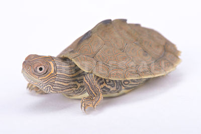 Mississippi map turtle (Graptemys pseudogeographica kohni)  photos