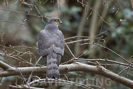Eurasian Sparrowhawk Accipiter nisus female Minsmere Suffolk early spring
