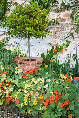 Wall trained peach with standard bay in front surrounded by nasturtiums. Melplash Court, Bridport, Dorset, UK