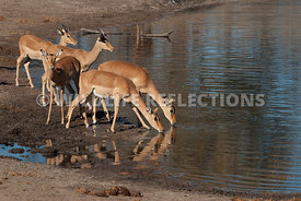 impala_does_approaching_waterhole